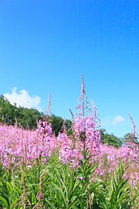 志賀高原 一の瀬のヤナギランの写真素材 [FYI02083027]