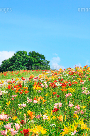 ユリの花畑と緑樹の写真素材 [FYI02083030]