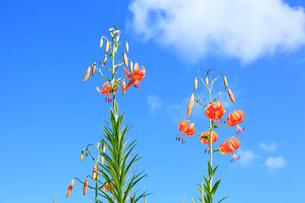 コオニユリの花の写真素材 [FYI02083117]