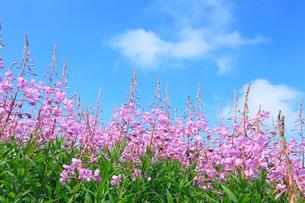 志賀高原 一の瀬のヤナギランの写真素材 [FYI02083125]
