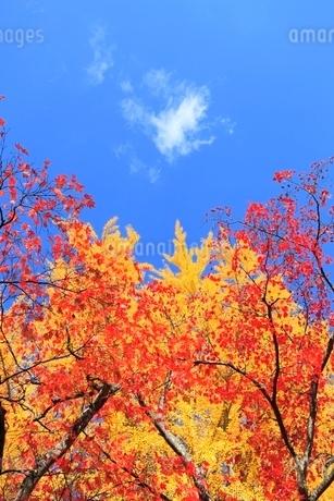 紅葉と青空の写真素材 [FYI02083159]