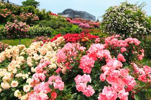 響灘緑地・グリーンパークのバラ園の写真素材 [FYI02083180]