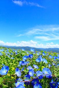 アサガオ(ヘブンリーブルー) の花畑の写真素材 [FYI02083188]