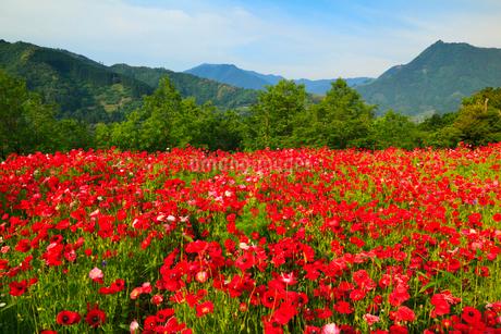 ポピーの花畑の写真素材 [FYI02083191]