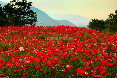 ポピーの花畑と朝焼けの写真素材 [FYI02083217]