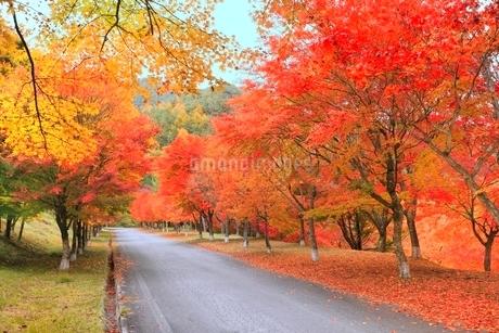 モミジ紅葉の並木道の写真素材 [FYI02083365]