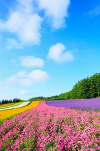 富良野(コマチソウとラベンダーの花)の写真素材 [FYI02083371]