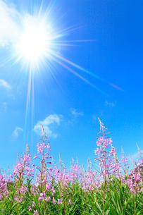 志賀高原 一の瀬のヤナギランと太陽の写真素材 [FYI02083380]