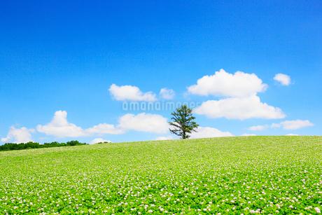 美瑛(丘のカラ松とジャガイモ畑)の写真素材 [FYI02083395]