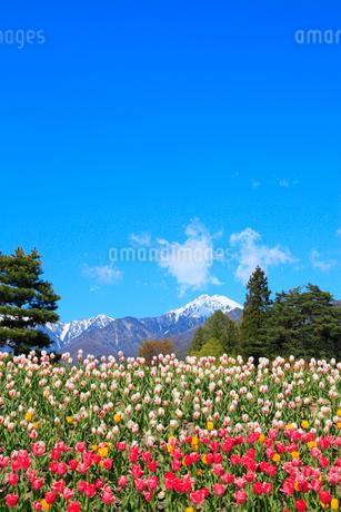 チューリップの花と北アルプス・常念岳の写真素材 [FYI02083569]