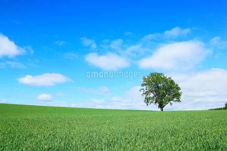 美瑛(哲学の木と麦畑)の写真素材 [FYI02083581]