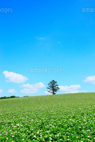 美瑛(丘のカラ松とジャガイモ畑)の写真素材 [FYI02083591]