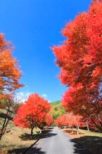 モミジ紅葉の並木道の写真素材 [FYI02083597]