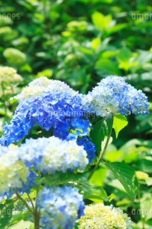 アジサイの花の写真素材 [FYI02083603]