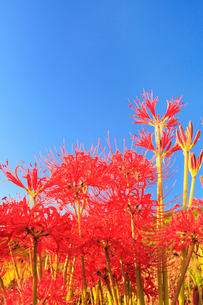 彼岸花と青空の写真素材 [FYI02083635]