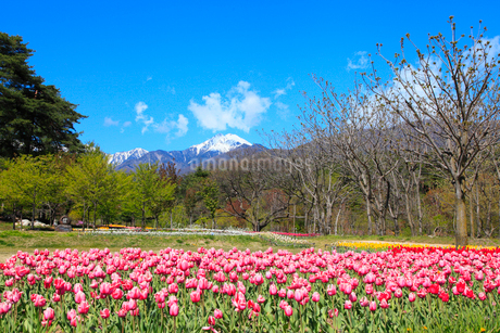 チューリップの花と北アルプス・常念岳の写真素材 [FYI02083701]