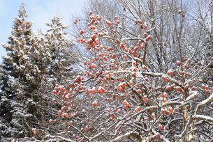 雪と残り柿の写真素材 [FYI02083732]