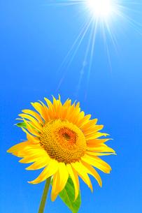 ヒマワリの花と太陽光の写真素材 [FYI02083752]