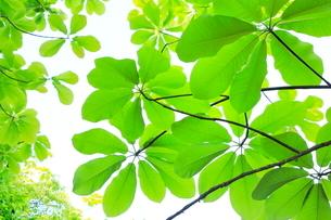 ホオノキ新緑の葉の写真素材 [FYI02083757]
