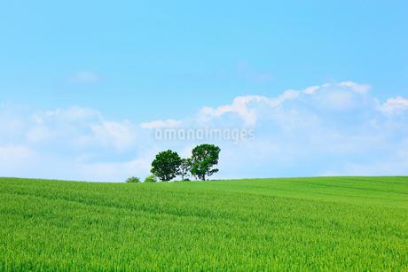 美瑛(親子の木と麦畑)の写真素材 [FYI02083783]