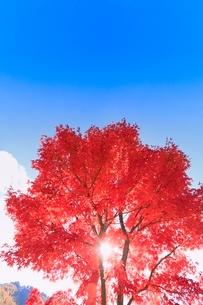 モミジ紅葉と太陽の写真素材 [FYI02083794]