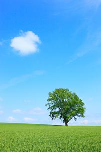 美瑛(哲学の木と青空)の写真素材 [FYI02083863]