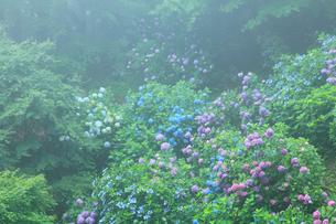 大窪寺前山のアジサイ園の写真素材 [FYI02083923]
