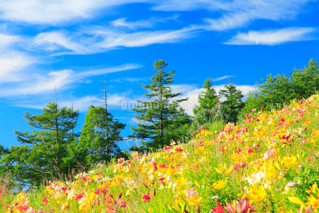 ユリの花と青空の写真素材 [FYI02083930]
