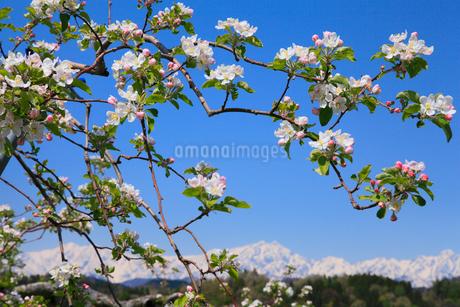 リンゴの花と北アルプス・鹿島槍ヶ岳の写真素材 [FYI02083943]
