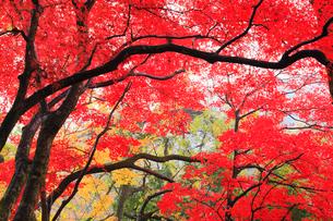 山中温泉の紅葉の写真素材 [FYI02083945]