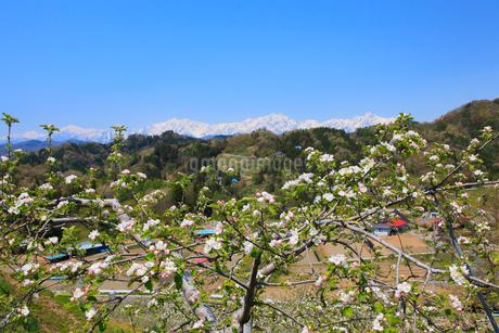 リンゴの花と北アルプス(爺ヶ岳・鹿島槍ヶ岳・五竜岳)の写真素材 [FYI02083966]