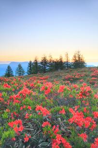 鉢伏山 レンゲツツジと朝焼けの空の写真素材 [FYI02084015]