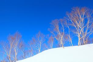 雪原と並ぶ木の写真素材 [FYI02084092]