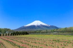 花の都公園よりチューリップと富士山の写真素材 [FYI02084115]
