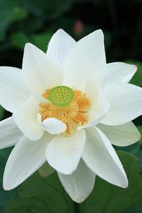 ハスの花の写真素材 [FYI02084141]