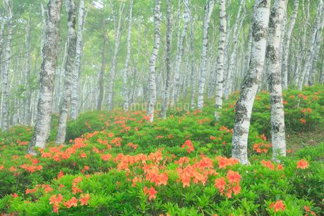 レンゲツツジと白樺林に霧の写真素材 [FYI02084214]