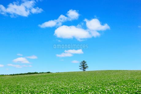 美瑛(丘のカラ松とジャガイモ畑)の写真素材 [FYI02084217]