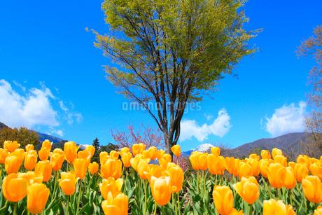 チューリップの花と緑樹の写真素材 [FYI02084263]