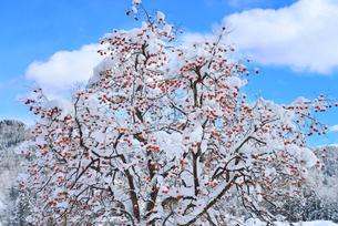 残り柿と雪景色の写真素材 [FYI02084270]
