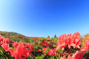 鉢伏山 レンゲツツジと青空の写真素材 [FYI02084293]