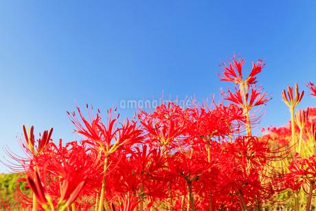 彼岸花と青空の写真素材 [FYI02084299]