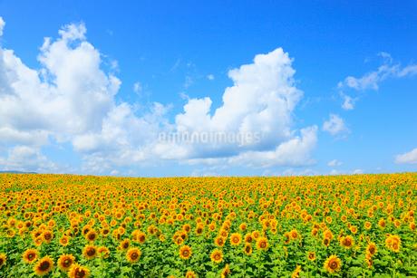 ヒマワリの花と青空の写真素材 [FYI02084395]
