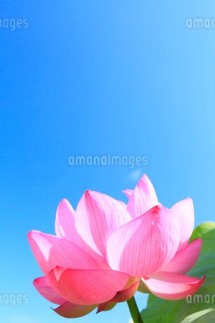 ハスの花と青空の写真素材 [FYI02084399]