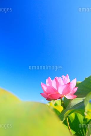 ハスの花と青空の写真素材 [FYI02084419]