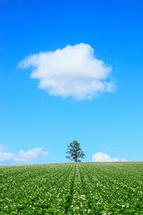美瑛(カラ松とジャガイモ畑)の写真素材 [FYI02084468]
