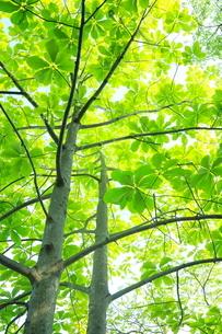 ホオノキ新緑の葉の写真素材 [FYI02084500]
