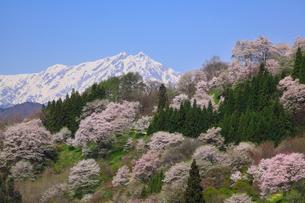 サクラと鹿島槍ヶ岳の写真素材 [FYI02084602]