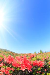 レンゲツツジと太陽光の写真素材 [FYI02084626]