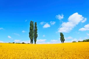美瑛(赤羽の丘のポプラと麦畑)の写真素材 [FYI02084641]