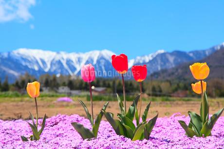チューリップの花と北アルプス・蝶ヶ岳の写真素材 [FYI02084644]